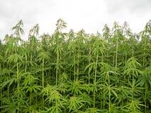 Green canabis on marihuana field farm. Weed leaf on a ganja plantation canabis farm marihuana field stock photo