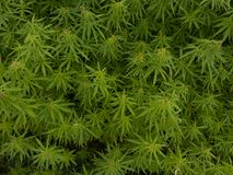 Green canabis on marihuana field farm. Weed leaf on a ganja plantation canabis farm marihuana field stock images