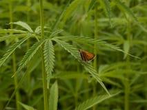 Green canabis on marihuana field farm. Weed leaf on a ganja plantation canabis farm marihuana field stock photos