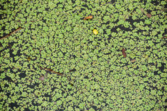 Weed. Many Weed floating in the river Royalty Free Stock Images