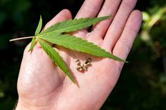 Weed marijuana cannabis seed leaf hand man drug. Men hand with leaf and seed cannabis weed royalty free stock photos