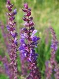 Weed púrpura Imagen de archivo libre de regalías
