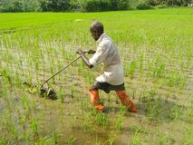 Weed in the paddy field of sri lankan natural ph9otos royalty free stock photo