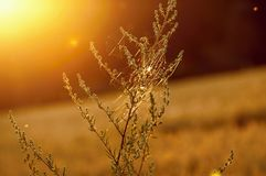 Weed plant with cobweb in sunset illumination. Weed plant with cobweb in blurry field in beautiful golden sunset illumination, moody pleasant view royalty free stock photos