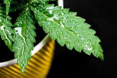Weed plant marijuana cannabis leaf background. Cannabis plant marijuana leaves plants, growing plants royalty free stock photo