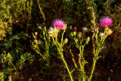 The weed plant Thistle prickly. Royalty Free Stock Image