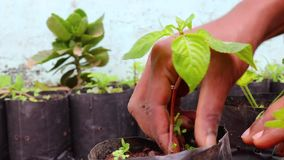 Removing weed plants by hand in flowerpot stock footage