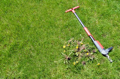 Weed removal by hand - lawn maintenance tool and weeds 1. Home and garden tool for weeding with weeds on a lawn Royalty Free Stock Image