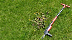Weed removal by hand - lawn maintenance tool and weeds 1 royalty free stock images