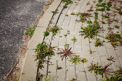 Weed on sidewalk Royalty Free Stock Images