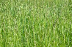 Weed sorghum Stock Photo