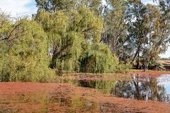 Weeping Willows And Pond Water Weed. Weed spread on the surface of the water in a pond with weeping willow trees stock photos