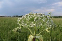 Weed, a toxic plant cow parsnip-blossoms in the summer. Hogweed is a weed, a poisonous plant.It is widespread in nature in many countries.It has useful stock photos