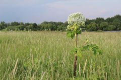 Weed, a toxic plant cow parsnip-blossoms in the summer. Hogweed is a weed, a poisonous plant.It is widespread in nature in many countries.It has useful stock image