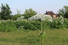 Weed, a toxic plant cow parsnip-blossoms in the summer. Hogweed is a weed, a poisonous plant.It is widespread in nature in many countries.It has useful royalty free stock photos
