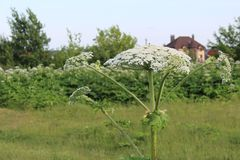 Weed, a toxic plant cow parsnip-blossoms in the summer. Hogweed is a weed, a poisonous plant.It is widespread in nature in many countries.It has useful stock images