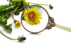Weed under loupe, dandelion plant with bloom behind a magnifying. Glass isolated on a white background, selected focus, narrow depth of field stock image