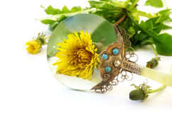 Weed under loupe, dandelion plant with bloom behind a vintage ma. Gnifying glass isolated on a white background, selected focus, narrow depth of field royalty free stock image