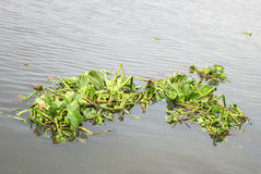 Weed, water hyacinth, water barrier to all traffic. Nature stock photo