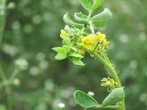 weed yellow Royaltyfri Fotografi
