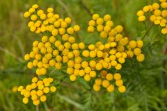 Weed yellow flowers in countryside. Royalty Free Stock Photos