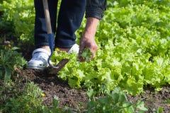 Weedig lettuce. Stock Images