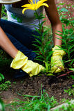 Weeding. A person in gloves working in the garden with yellow lily Stock Image