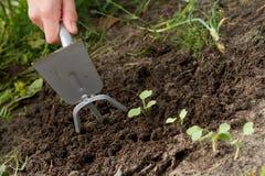Weeding av grönsakgroddar Arkivbilder