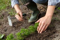 Weeding av parsleyunderlaget Arkivfoton