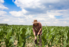 Weeding corn field with hoe Stock Images
