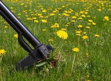 Weeding Dandelions Stock Photos