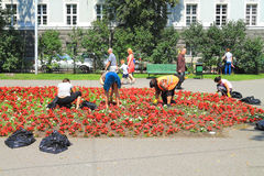 Weeding flower beds in the city center of the city. KALININGRAD, RUSSIA — JULY 7, 2014: Weeding flower beds in the city center of the city Stock Image