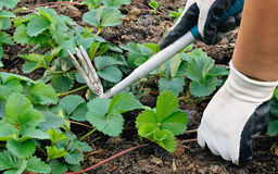 Weeding In Garden. A close up of a gardener's gloved hands with garden tool as they are pulling weeds Stock Photos