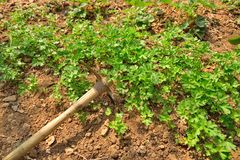 Weeding hoe, chervil and persil Royalty Free Stock Photography