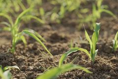 Planting Corn Seeds royalty free stock photo