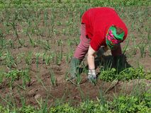 Weeding onions Stock Image