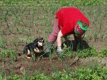 Weeding onions 2 Royalty Free Stock Image