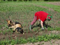 Weeding onions 3 Stock Photos