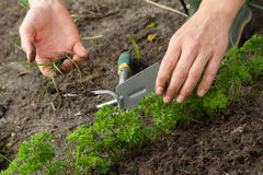 Weeding of parsley bed Stock Photos