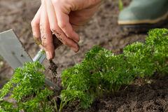 Weeding of parsley bed Stock Photography