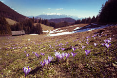 Mountain Landscape with beautiful crocus field Royalty Free Stock Photos