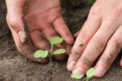 Weeding of sprouts. Woman hands weeding the Japanese radish at the kitchen garden, close-up Royalty Free Stock Photography