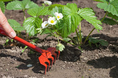 Weeding of strawberries. Stock Photos