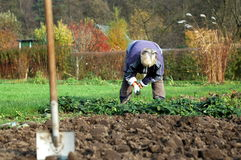 Weeding. Womand bends down and weeding her garden with a fork Stock Image