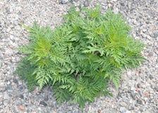 weeds Arkivbilder