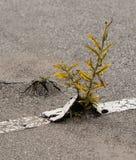 Weeds in asphalt. Weeds break through cracks in asphalt road lines royalty free stock photo