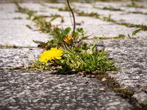 Weeds bevor weeding on a blowzy courtyard. Photo shows a blowzy courtyard with a lot of weeds Royalty Free Stock Image
