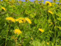 Weeds. With Dandelions in spring royalty free stock images