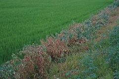 Weeds died from herbicide. Broad spectrum post emergence herbicide Stock Images