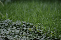Weeds on the edge of the lawn. Close up of healthy green grass mixed with weeds royalty free stock photos